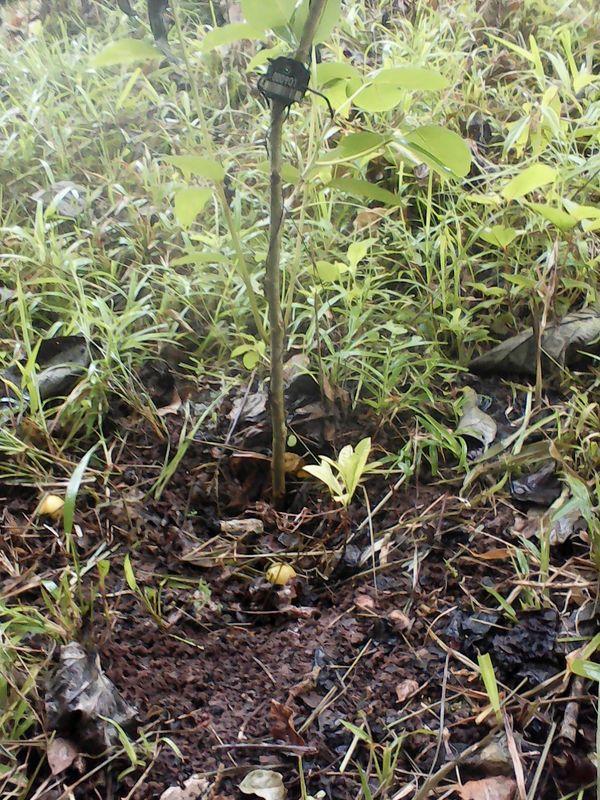 Tempisque Baum