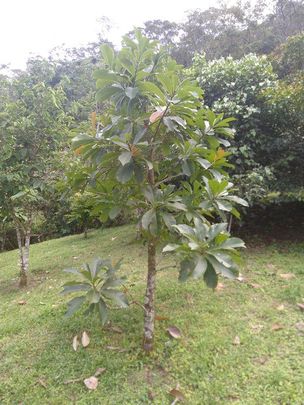 junger Kanonenkugelbaum