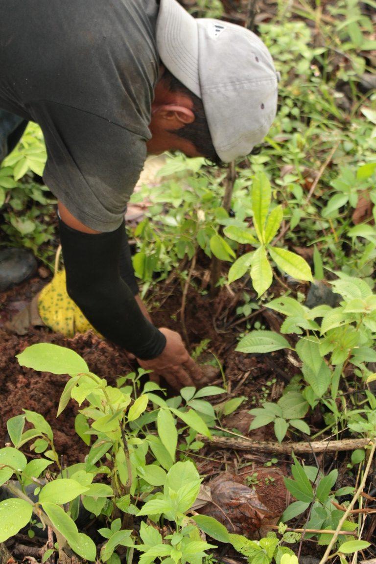 wiederaufforsten_regenwald