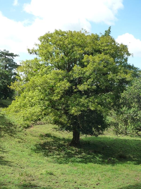 Vitex cooperi Baum