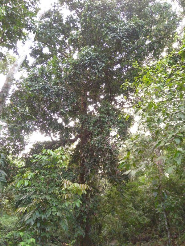 Von diesem prächtigen Baum stammen die Früchte