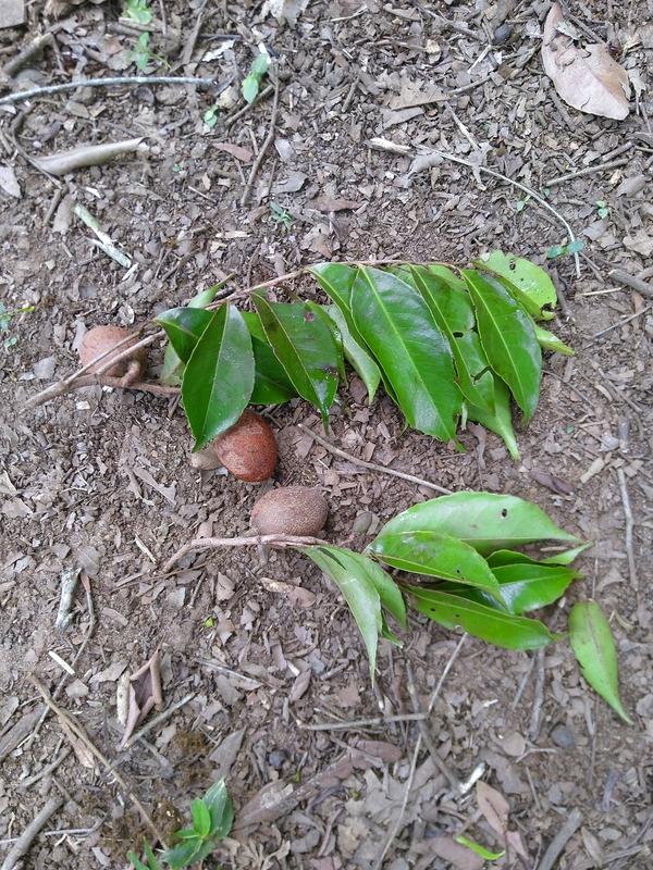 Früchte und Blätter Sacoglottis trichogyna