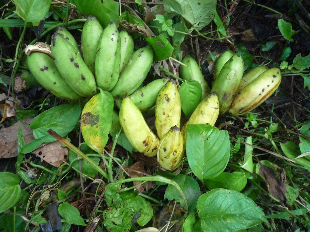 Banane_selbst_ernten_1