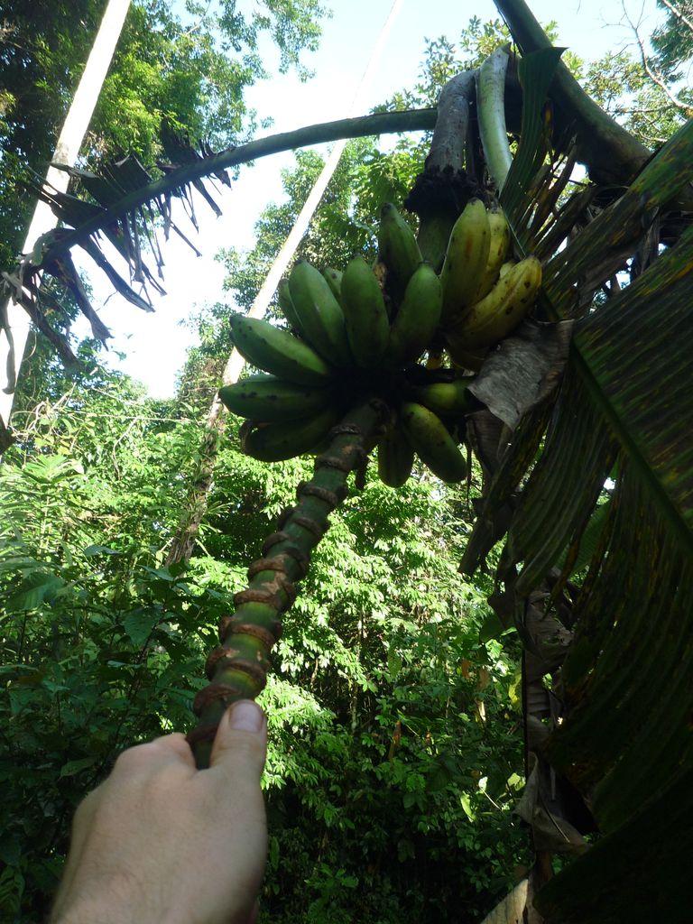 Banane_selbst_ernten_3