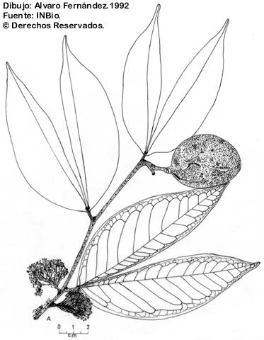 Cynometra hemitomophylla