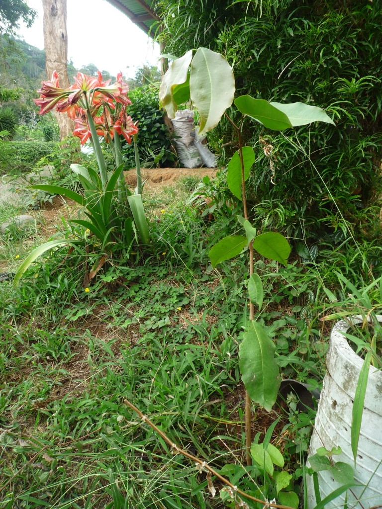 Cativo - Prioria copaifera