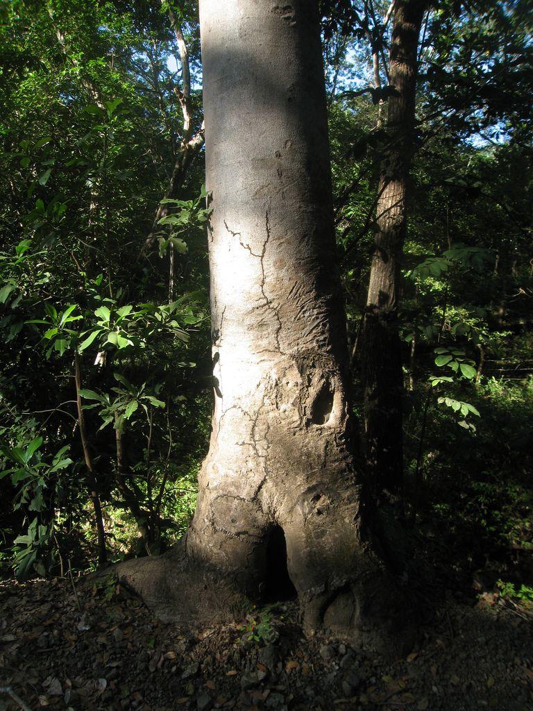 Hymenaea-courbaril-Stamm-Guapinol