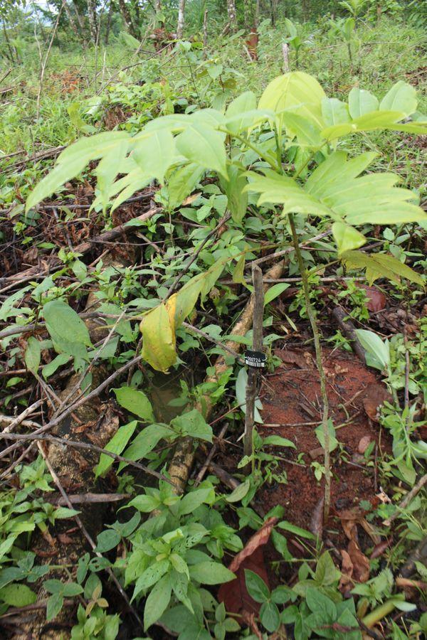 Baum verschenken - Waldmandel im Regenwald