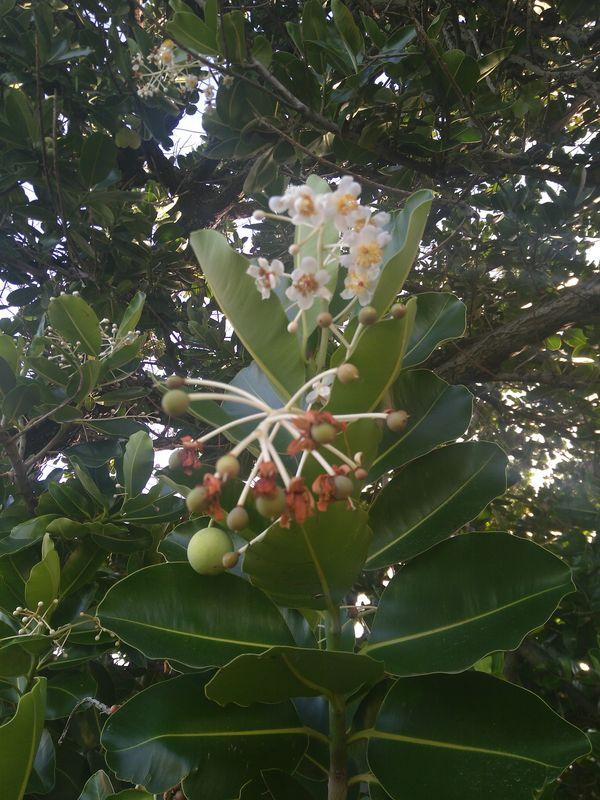 calophyllum_brasiliense_2