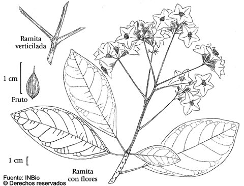 Cordia Megalantha