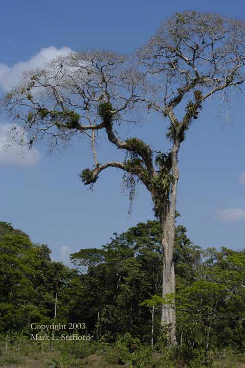 ausgewachsene Waldmandel (Dipteryx panamensis)