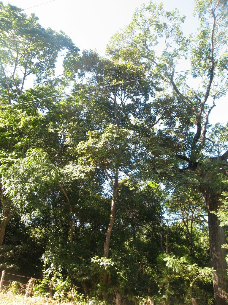 guajakbaum-tabebuia-guayacan-baum