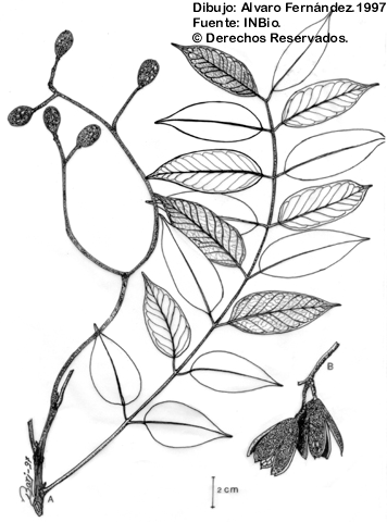Illustration Cedrela Odorata
