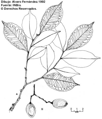 Illustration Humiriastrum Diguense