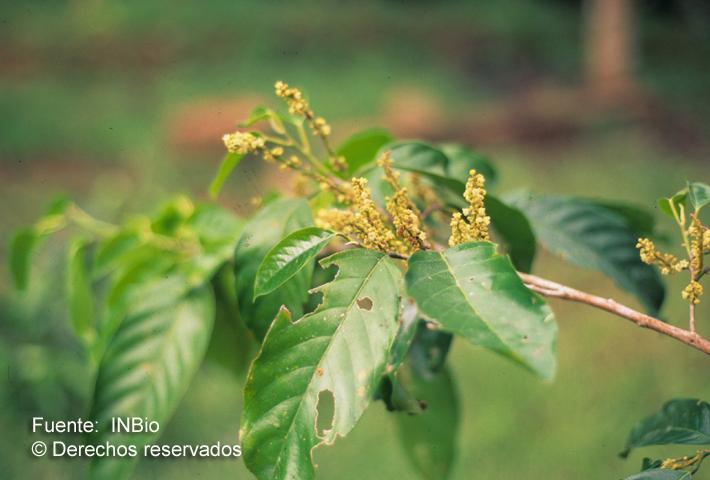 Minquartia guianensis