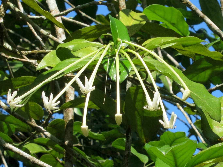 posoqueria-latifolia102