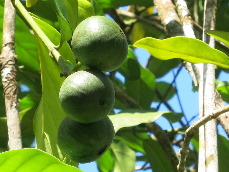 posoqueria-latifolia103