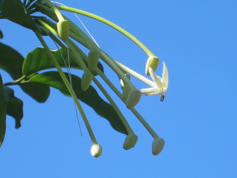 posoqueria-latifolia104