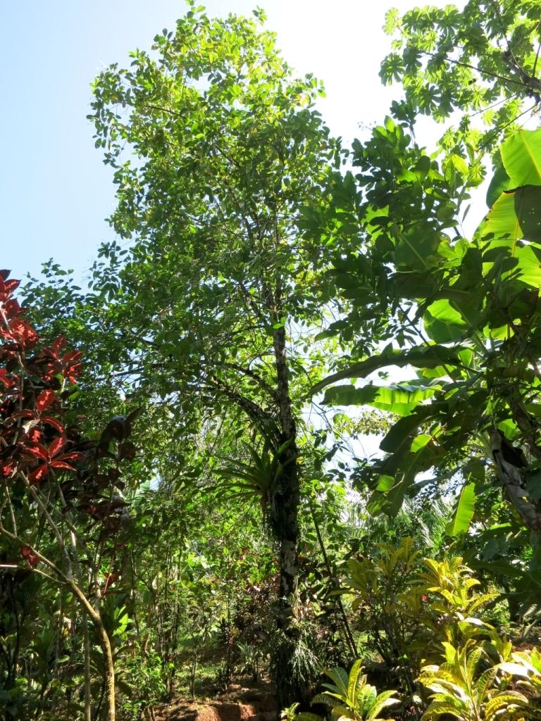 posoqueria-latifolia105