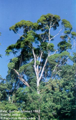 Qualea Paraensis