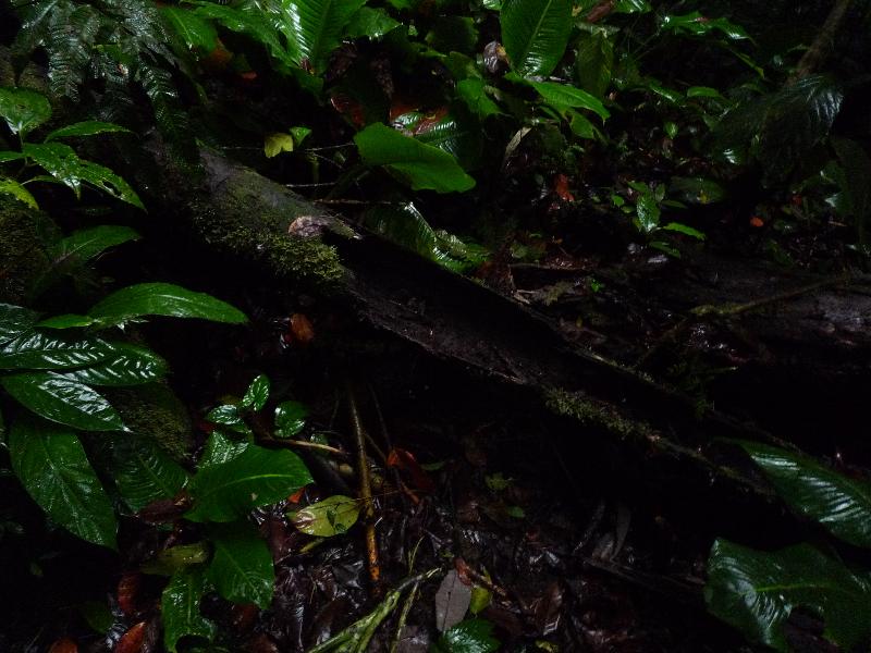 socratea_exorrhiza_rohr
