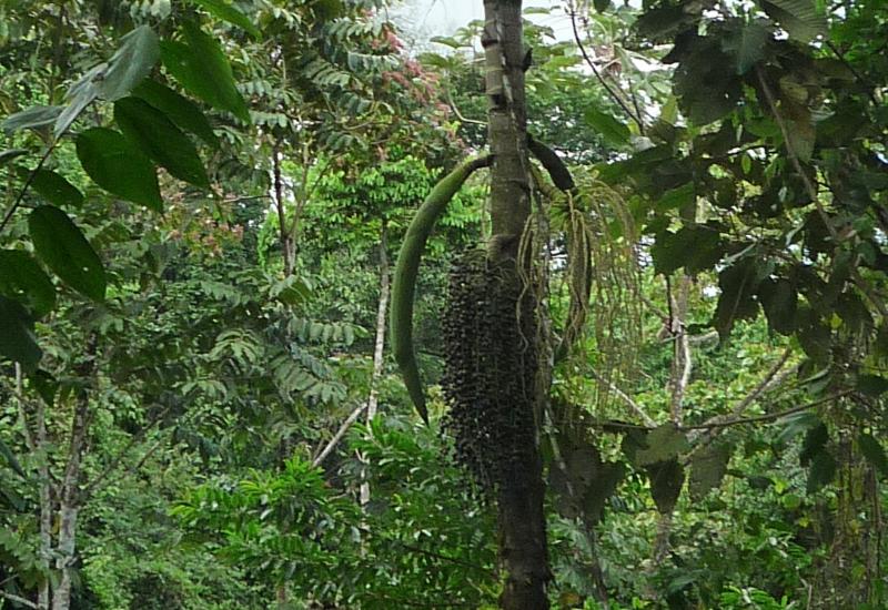 socratea_exorrhiza_samen