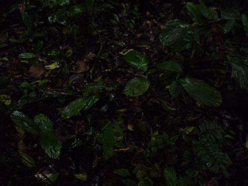 socratea_exorrhiza_setzlinge