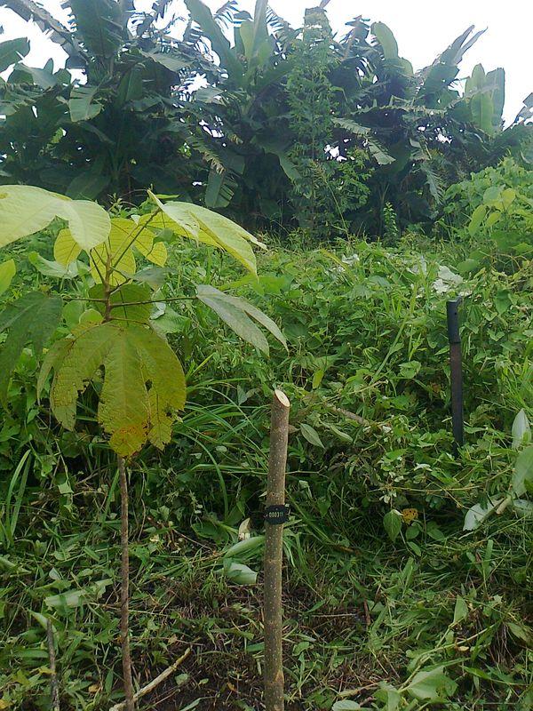 sterculia costaricana Setzling