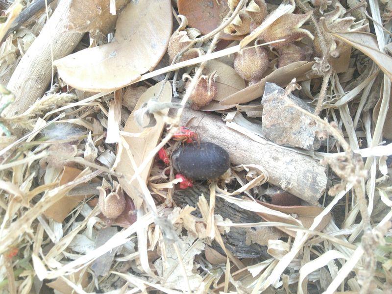 rote Wanzen vergnügen sich am stärkehaltigen Samen des Panamabaumes.