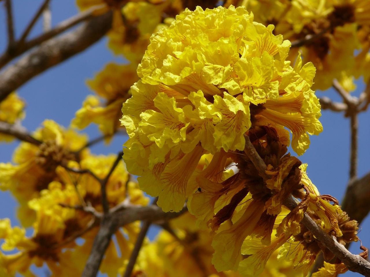 Blüte des Tabebuia Guayacan