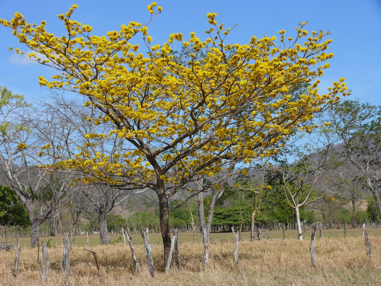 Tabebuia Guayacan in Bluete