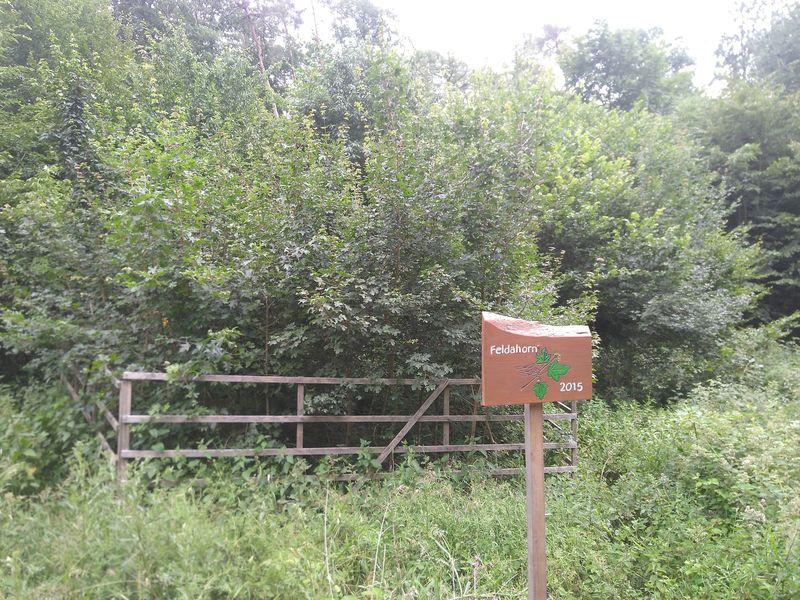Feldahron eingezäunt im Wald - gepflanzt 2015