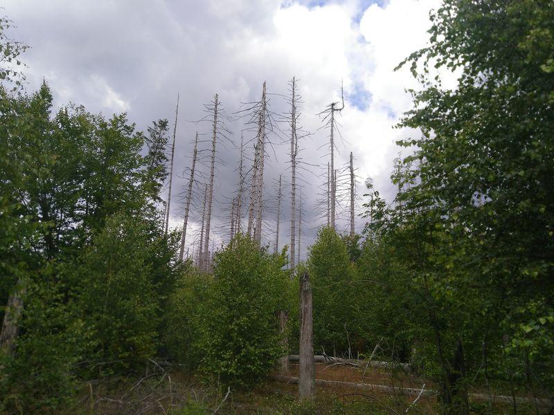 abgestorbener Fichtenwald