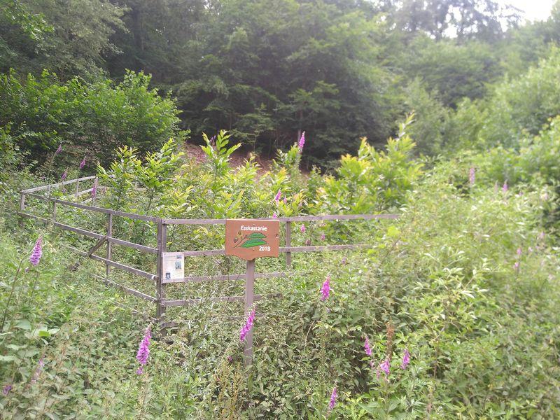 Esskastanien in Gatter - gepflanzt 2018