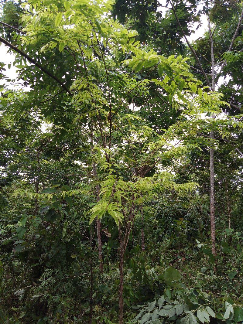 Affentopf Baum