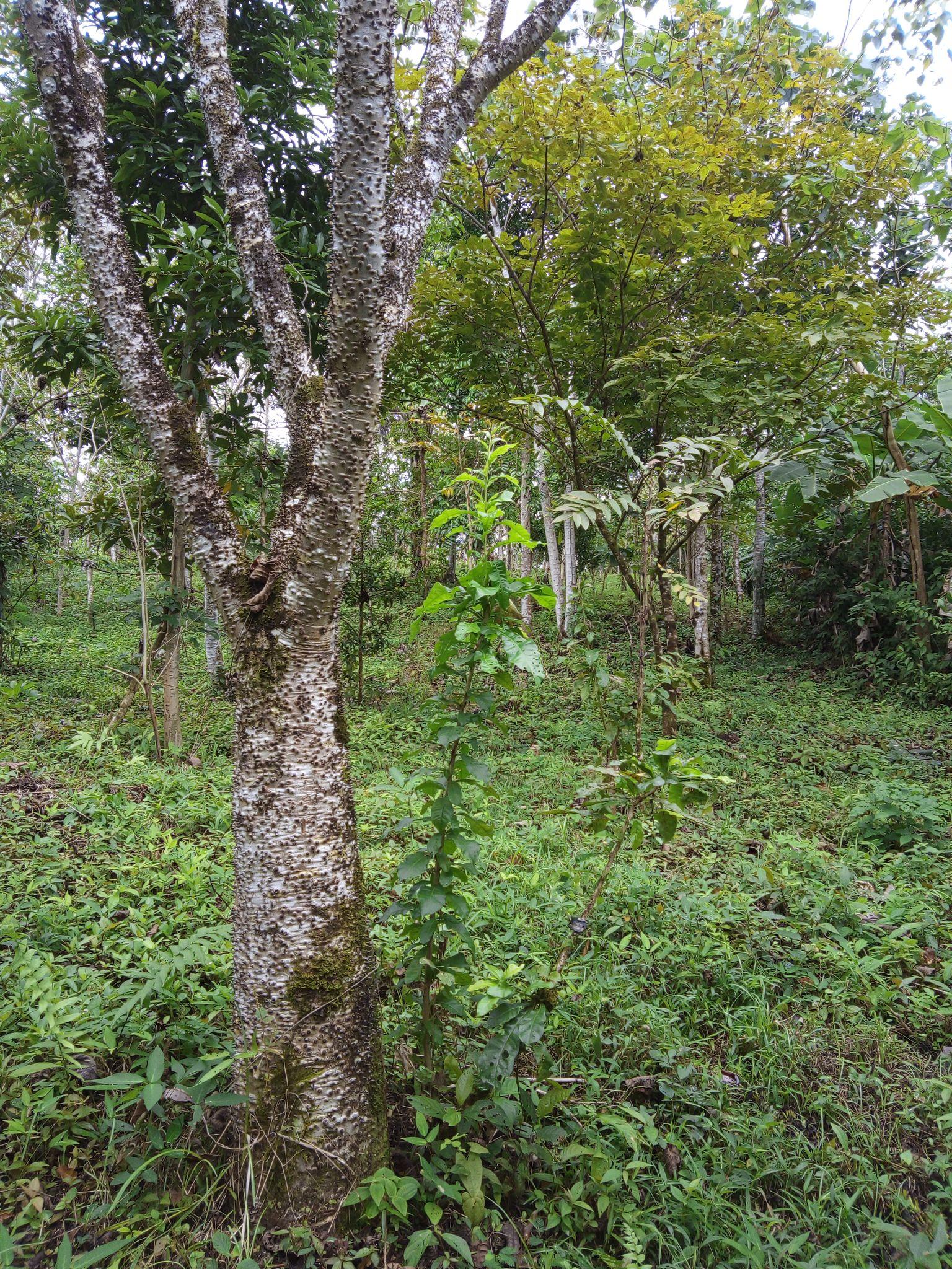 Regenwald Baum Jabillo