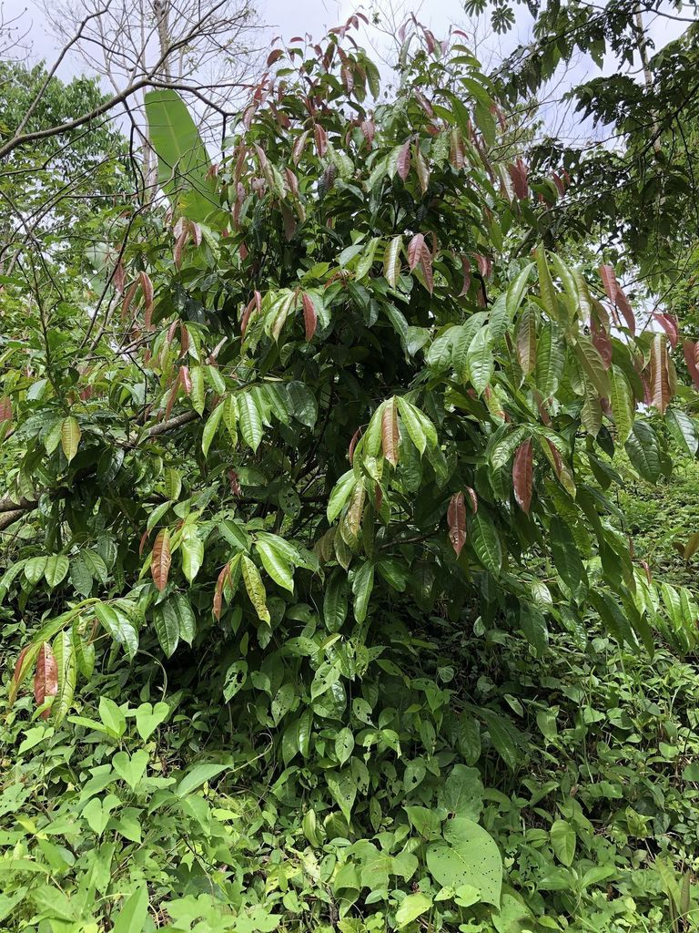 junger Titor Baum